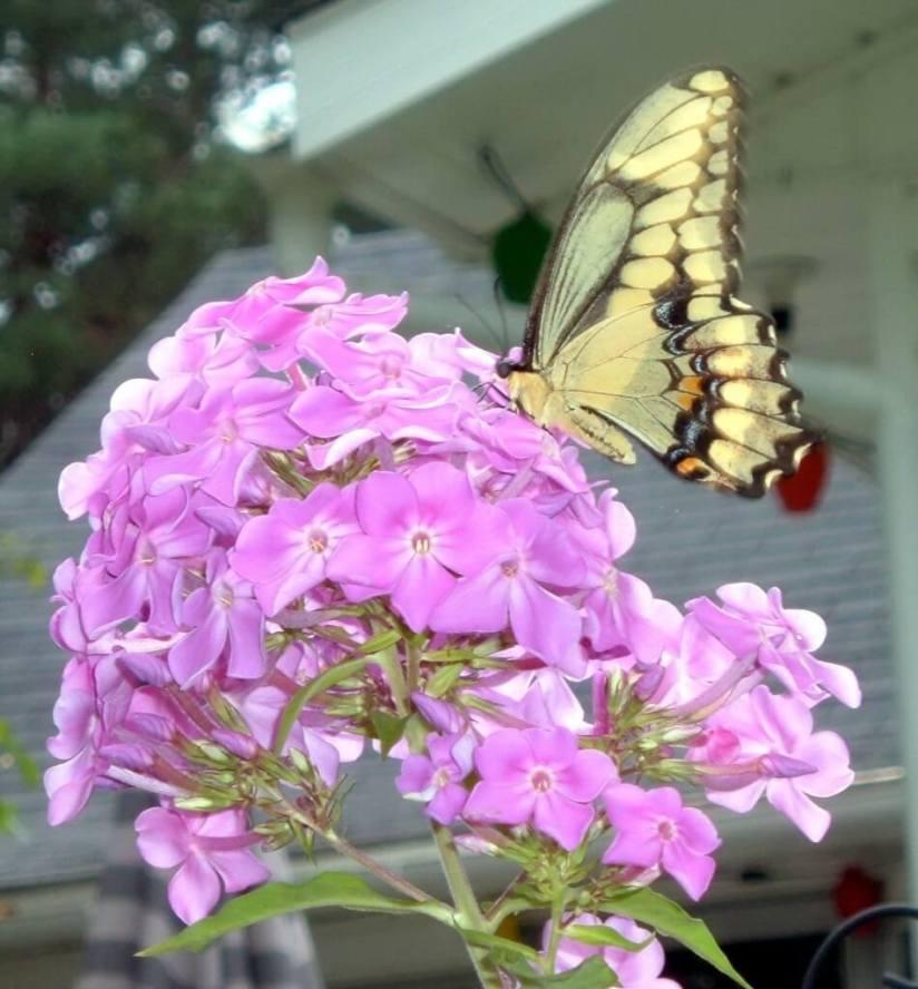 giant Swallowtail, at Oxtongue lake, ontario, frame to frame bob & jean
