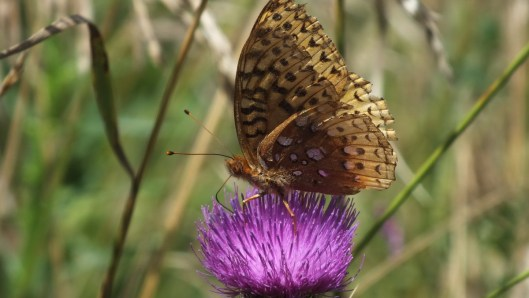 great spangled fritillary butterfly - profile - near little britian - ontario