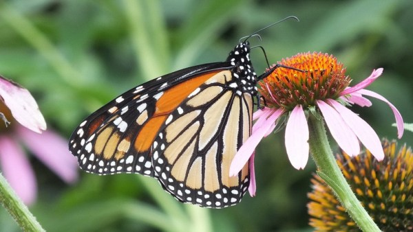 monarch butterfly on flower, jeans garden, toronto, ontario