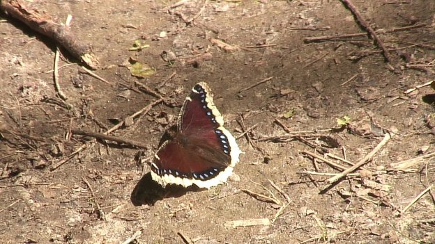 mourning cloak butterfly on the ground, forks of the credit provincial park, ontario