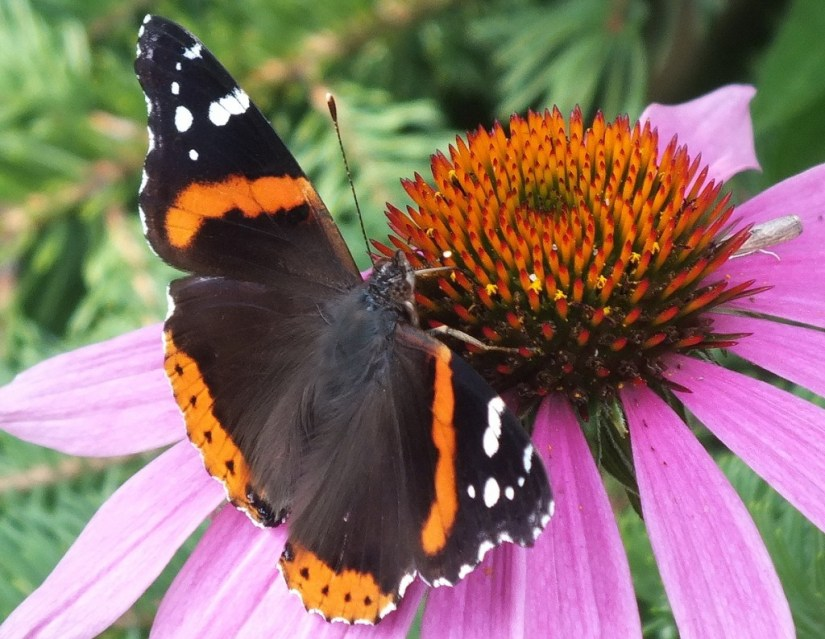 painted lady butterfly on coneflower, jeans garden, toronto