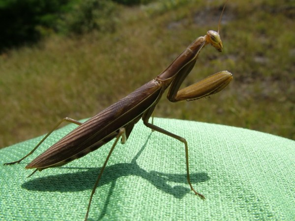 praying mantis, Frontenac Provincial Park, ontario