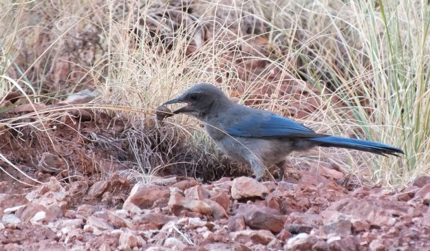 western scrub jay holds a stone in beak, bright angel trail, grand canyon