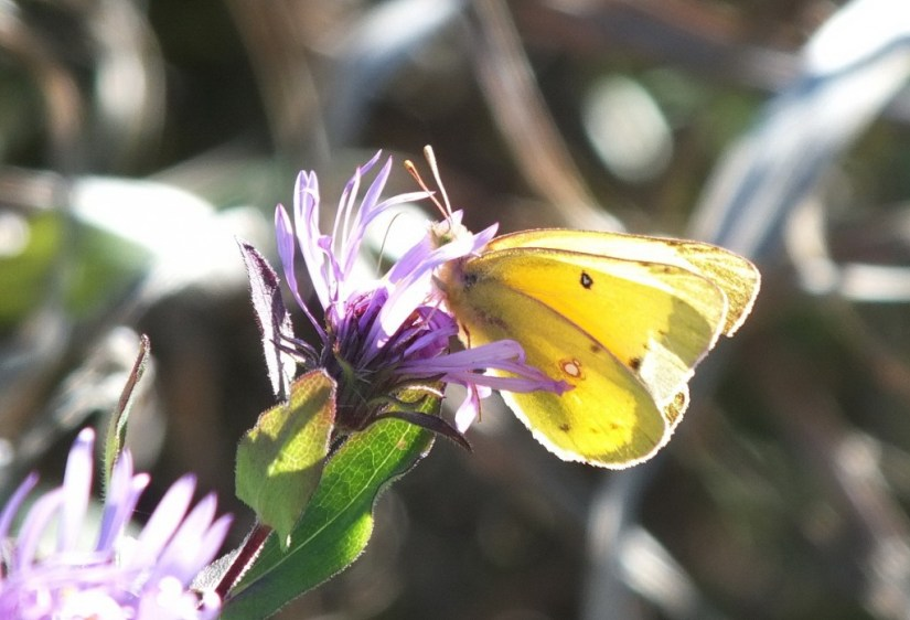 clouded sulpher butterfly, colias philodice, Lynde Shores Conservation Area, whitby, ontario