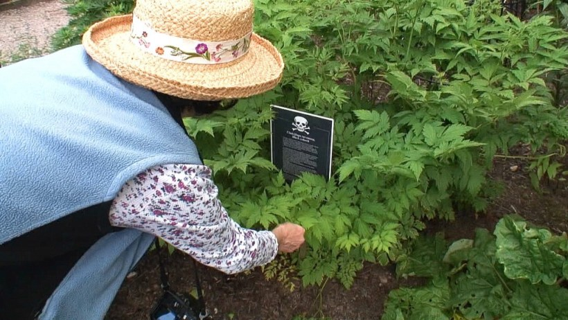 Jean touches the Black Cohosh plant in the Poison Garden at Blarney Castle in County Cork, Ireland