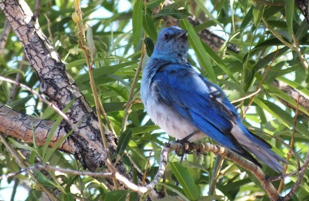 mountain bluebird in tree looks to camera, grand canyon heliport, arizona