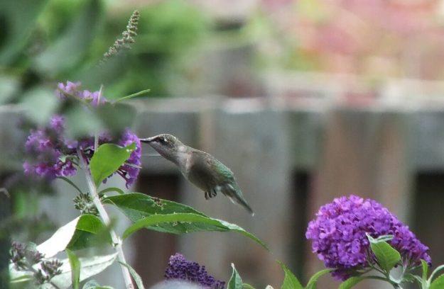 ruby-throated hummingbird above a purple butterfly bush, toronto, ontario