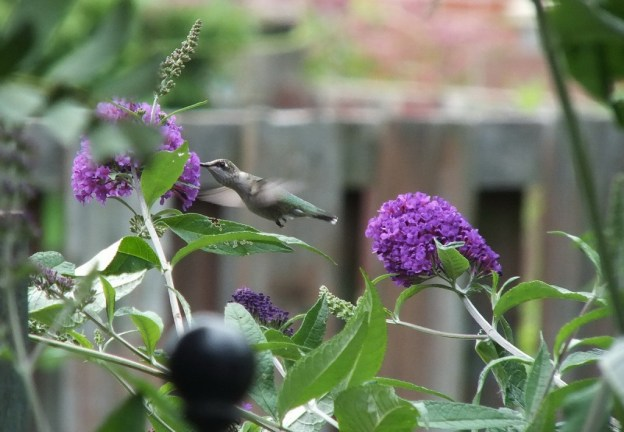 ruby-throated hummingbird feeds on nectar, toronto, ontario