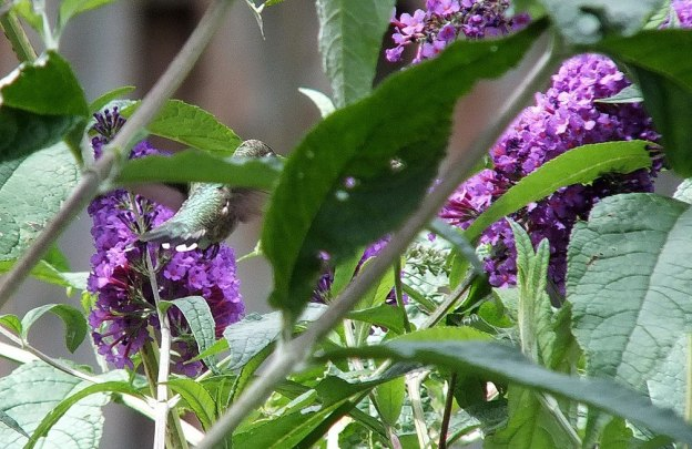 ruby-throated hummingbird flies among butterfly bush leaves, toronto, ontario