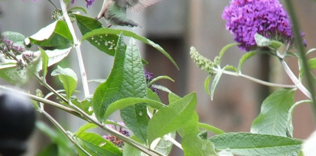 ruby-throated hummingbird holds on to butterfly bush with its feet, toronto, ontario