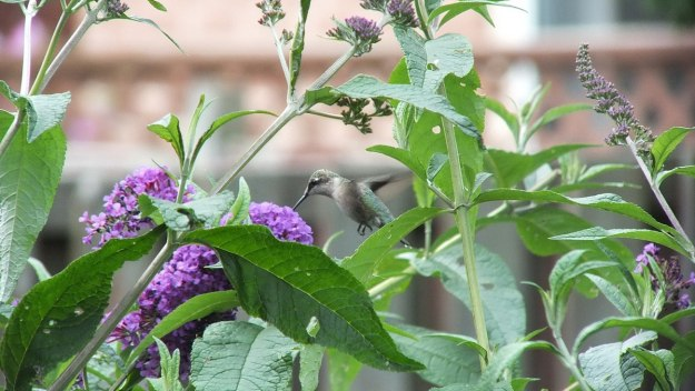 ruby-throated hummingbird in flight above butterfly bush, toronto, ontario