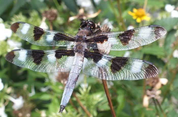twelve-spotted skimmer dragonfly, closeup on dry flower head, rosetta mcclain gardens, toronto