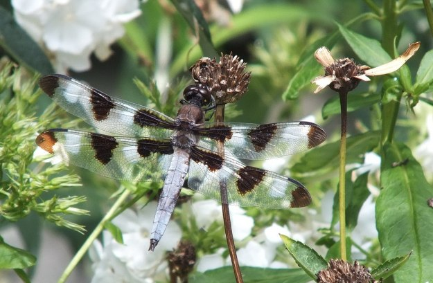 twelve spot skimmer dragonfly, sits on dry flower head, rosetta mcclain gardens, toronto