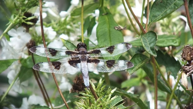 twelve-spotted skimmer dragonfly, sits on leaf, rosetta mcclain gardens, toronto