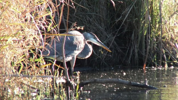 Great blue heron-fishing-lynde shores-whitby