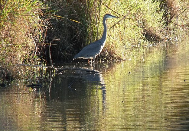 Great blue heron-in setting sun-lynde shores