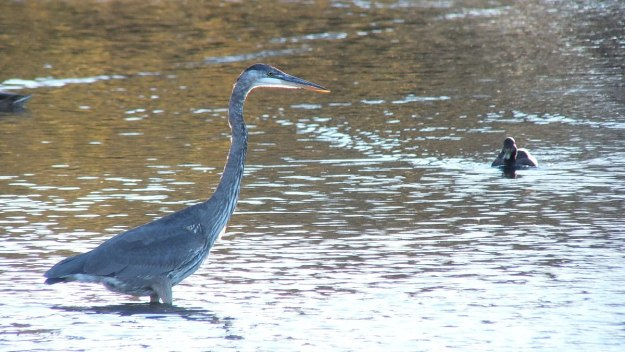 Great blue heron on the hunt-whitby