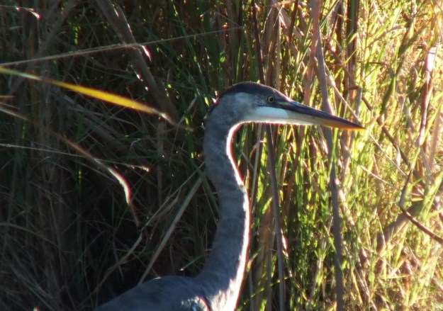 Great blue heron-swamp-lynde shores