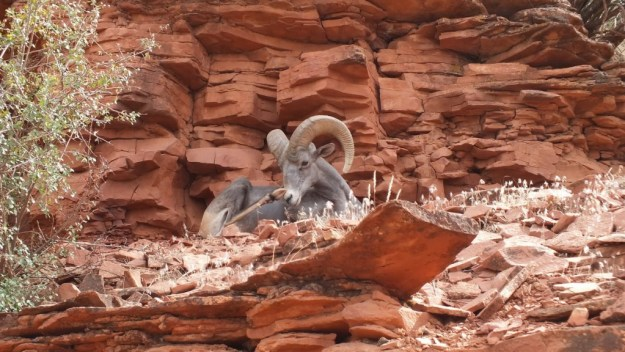 Bighorn sheep laying on ridge along Bright Angel Trail at Grand Canyon National Park, Arizona, U.S.A.