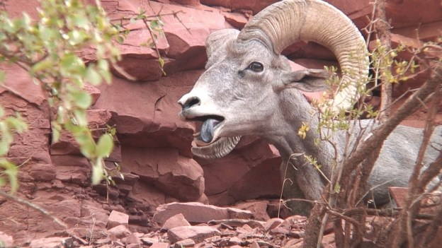 Bighorn sheep standing along a ridge at Grand Canyon National Park, Arizona, U.S.A.