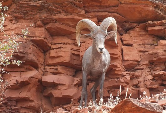 An image of a Bighorn sheep in the Grand Canyon in Arizona, U.S.A. Photography by Frame To Frame - Bob and Jean.