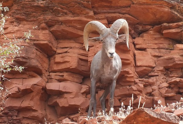 Bighorn sheep along Bright Angel Trail at Grand Canyon National Park, Arizona, U.S.A.