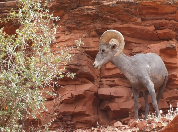 Bighorn sheep standing on a ridge at Grand Canyon National Park, Arizona, U.S.A.