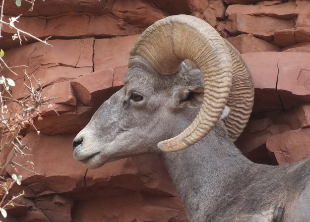 Close up of a Bighorn sheep along Bright Angel Trail at Grand Canyon National Park, Arizona, U.S.A.