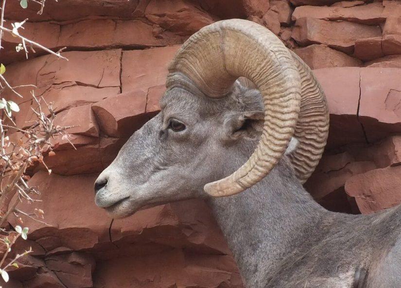 Close up of a Bighorn sheep along Bright Angel Trail at Grand Canyon National Park, Arizona, U.S.A.