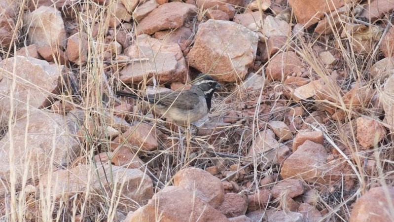 black-throated sparrow, bright angel trail 4b