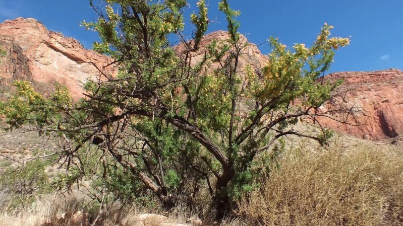 catclaw acacia - bright angel trail 20a