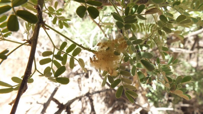 catclaw acacia on bright angel trail 20 c