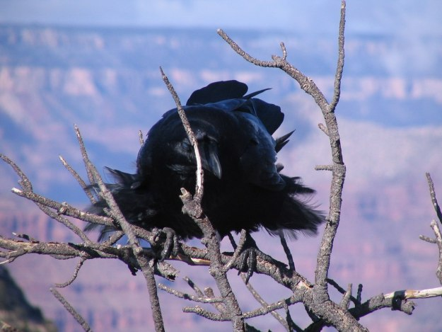 Common Raven on a tree at Grand Canyon National Park