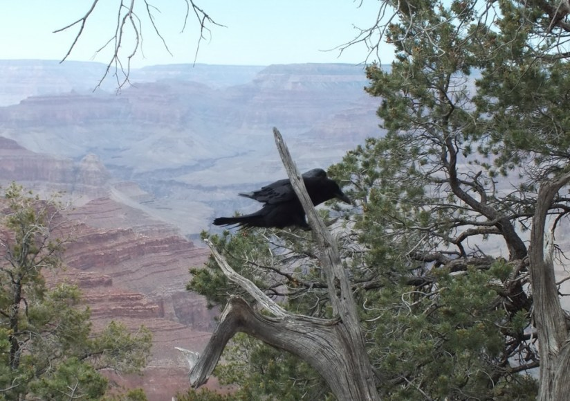 Common Raven landing in a tree at Grand Canyon National Park in Arizona, U.S.A.