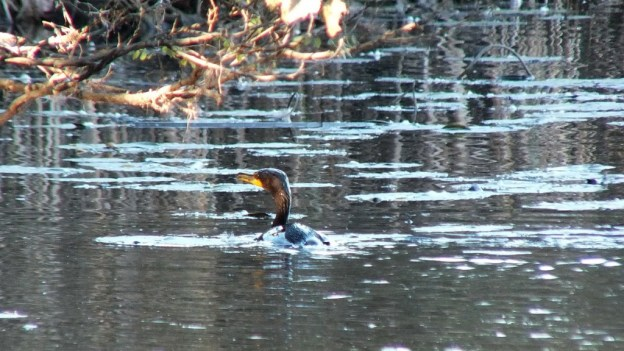 double-crested cormorant swims towards swamp