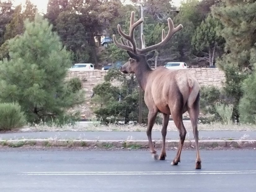 elk crosses roadway, grand canyon