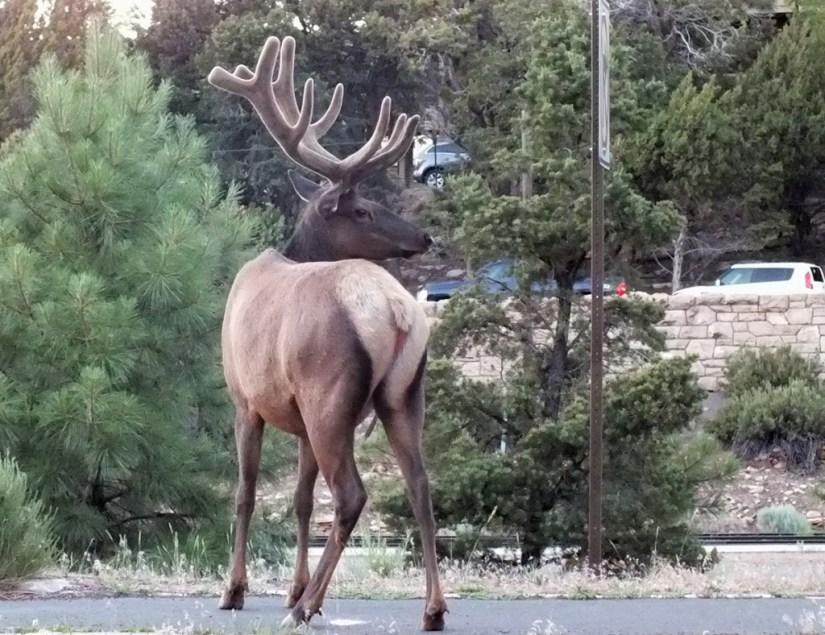 elk crosses roadway, grand canyon 3