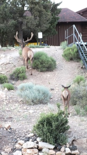elk in grand canyon village