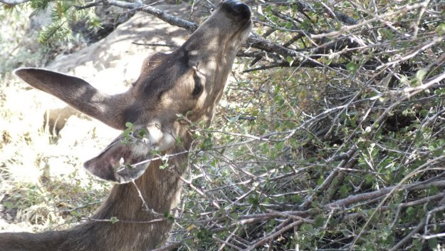 mule deer at tree, grand canyon national park