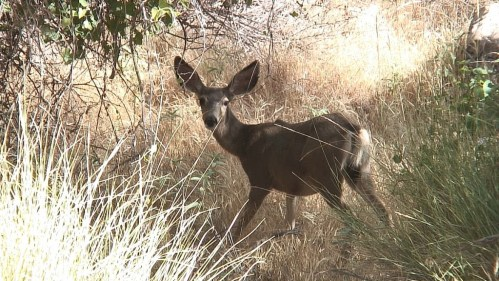 mule deer - near indian garden - grand canyon