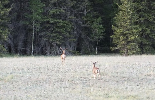 mule deer - north rim - grand canyon