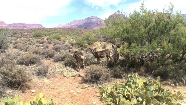mule deer under bushes, grand canyon
