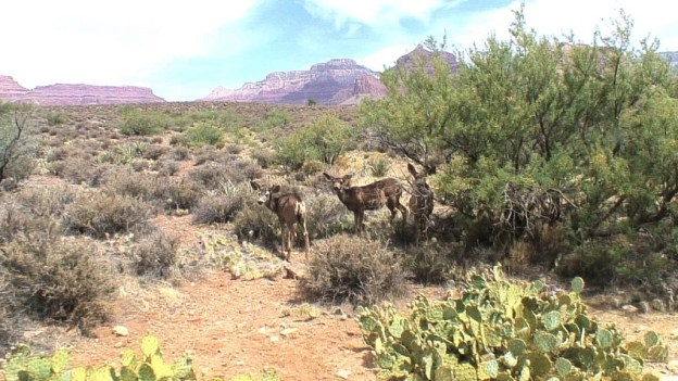 mule deer under bushes, grand canyon