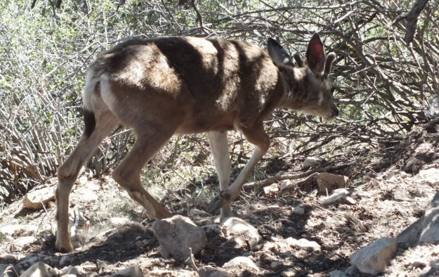 mule deer under thorn bushes - grand canyon