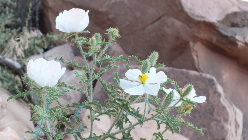 prickly poppy on bright angel trail 6c