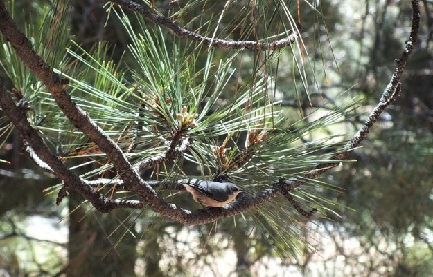 Pygmy nuthatch sitting in a tree at Grand Canyon National Park in Arizona, USA