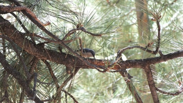 Pygmy nuthatch on the limb of a Ponderosa pine at Grand Canyon National Park in Arizona, USA