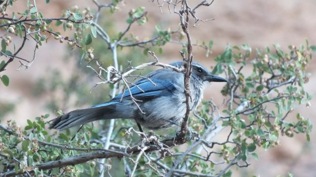 western scrub jay bright angel trail 4
