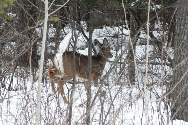white-tailed deer - oxtongue lake