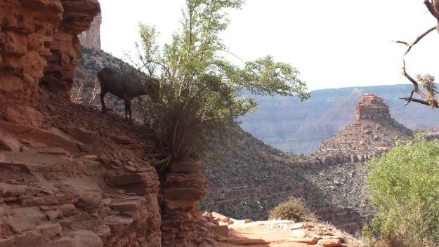 bighorn sheep, bright angel trail, grand canyon 31
